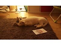 KC registered female white siberian huskey puppy pedigree