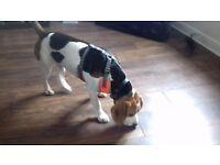 Beagle for sale 8 month old boy