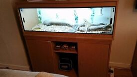 Bearded Dragon with 4ft viv and stand set up