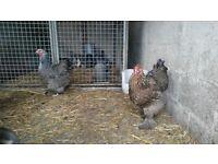 Two brahma chicken hens