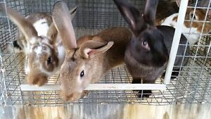 Young mixed breed rabbits - pets, breeding stock or meat