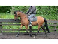 Companion/Brood mare/Lead rein/Project NOT A NOVICE RIDE