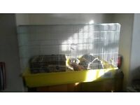 Indoor Guinea pigs for sale
