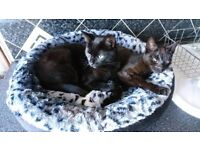 British shorthair and oriental cross male neutered black cats need forever home