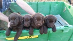 chocolate labs puppies