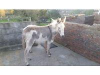 Coloured donkey