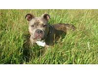 Brindle coloured American Bulldog girl
