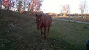 Registered Appaloosa Mare in Foal Belleville Belleville Area image 3