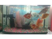 Large goldfish plus tank for sale