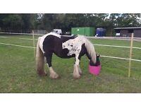 dekotas a lovely mare 14hh cob