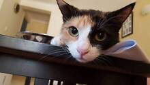 2yr old Cat looking for loving home *Desexed/Microchipped* Broadbeach Waters Gold Coast City Preview