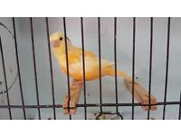 2 Pairs of 2016 Bred Red Factor Type Canaries * Hastings *