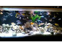 job lot of 20 malawi cichlids tropical fish for sale