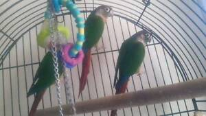 2 Conures for sale and 1 Gallah Dallas Hume Area Preview