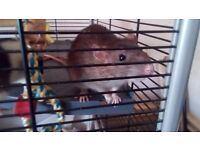 5 friendly female rats