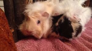 Romeo & Elvis Amazingly Adorable Guinea Pig Brothers