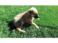 Welsh border x Belgium Shepherd malicious pups