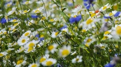 1kg of Wildflower Seeds Great for Butterflies and Bees.