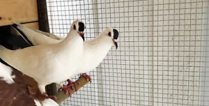 Rehoming my Pigeons