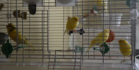 Singing Canaries for sell