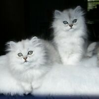 Chinchilla Persians - The MOST Beautiful Cats in the World!