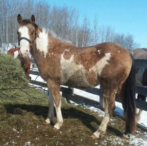 APHA or AQHA horses for sale  - Delivery available