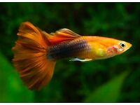 Beautiful Guppy Fish and Guppy Fry