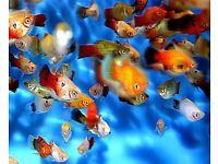 Tropical Community Fish 6 for £15 Angelfish, Sharks, Platys, Guppies