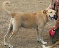 Senior Male  - Labrador Retriever