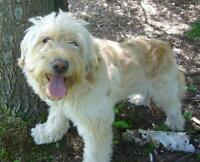 "Senior Male Dog - Wheaten Terrier: ""Tyson"""