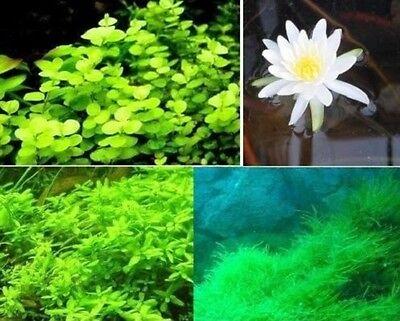 Pflanzensortiment für den Gartenteich + weiße Seerose Teichpflanze Teichpflanzen