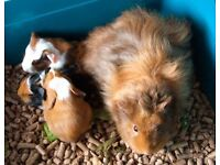 Guinee pigs for sale