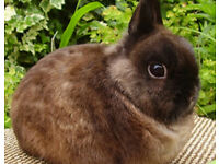 PURE BRED NETHERLAND DWARF BABY RABBITS