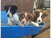 Cute Collie Sheepdog Pups