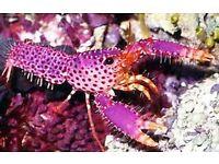 Pink reef lobster (Marine)
