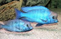 Wanted I am Looking for Dolphin Cichlids
