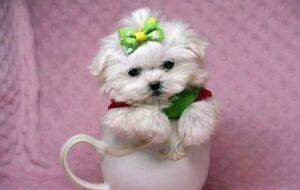 Tiny Doll Faced Teacup Maltese -fem.Pick of Litter