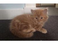 Ginger female long haired kitten