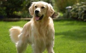 Looking for Male Golden Retriever