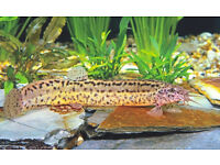 4 weather loaches for sale