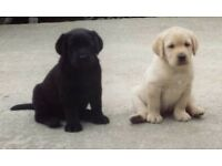 Pedigree Labrador puppies Black/Yellow/Chocolate kc reg