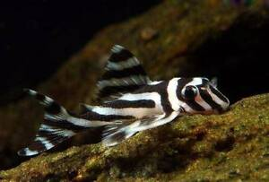 L046 Zebra plecos for sale 3cm to 5cm other rare L numbers avail Maribyrnong Maribyrnong Area Preview