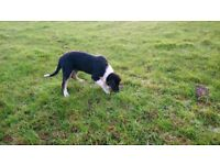 Male Tri-colour Border Collie Pup