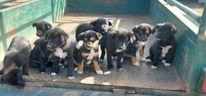 Kelpie cross Border Collie pups
