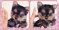 ★ TEENY BABY DOLL yorkie ❣ maltese MORKIE PUPPIES ★