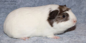 2 month old female guinea pig
