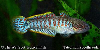 "(6) 1.5-2"" Peacock Gudgeon TR Tateurndina ocellicauda Live Freshwater Tropical"
