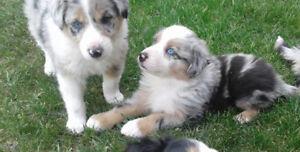 Aussie rough collie Puppies