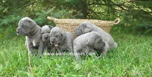 CKC REGISTERED BLUE GREAT DANE PUPPIES