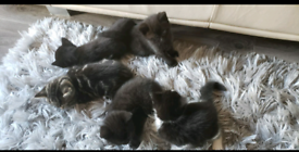 5 kittens ready to go from 19th September